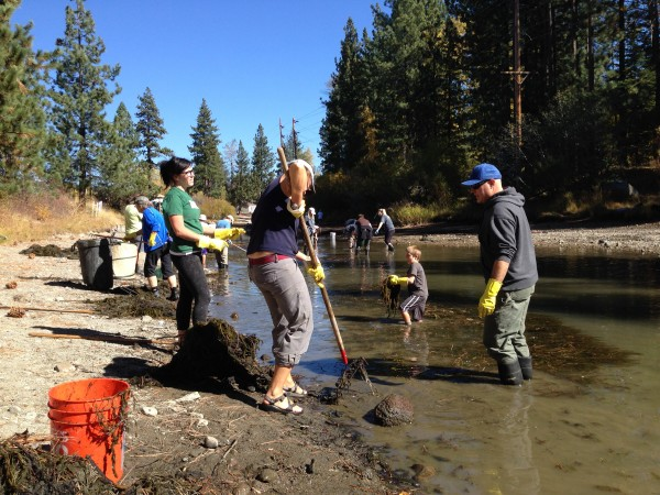 Volunteers remove milfoil from the Truckee River.