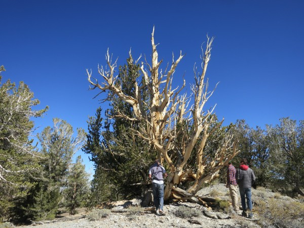 4000 year old trees at 10,000 feet in the Bristlecone Forest.